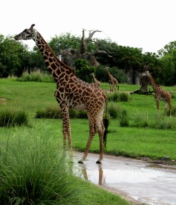Daily Dose Of Disney - Animals at Disney's Animal Kingdom